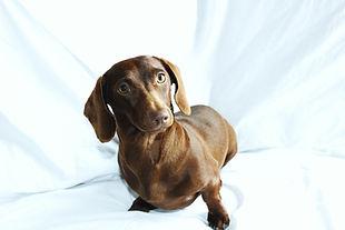 wiener wilderness chocolate mini dachshund