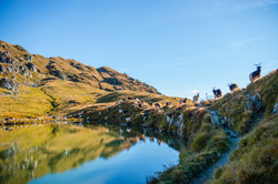 Goats in Belalp on the Swiss alps