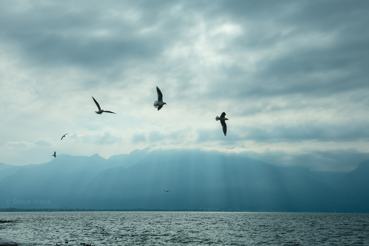 Seaguells flying above lake Geneva in Montreux, Switzerland  when the sunbeans break through the clouds