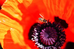 The bee and the Mohn