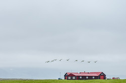 Birds and red farm house, Iceland