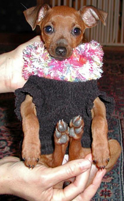 miniature pinscher training, puppy training, Brewster, NY