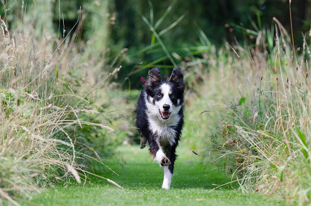 Border collie, dog training, off leash, Sherman, CT