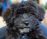 puppy training westport CT havanese.jpg