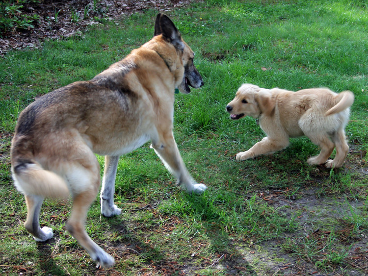 German shepherd, golden retriever, Brewster, NY