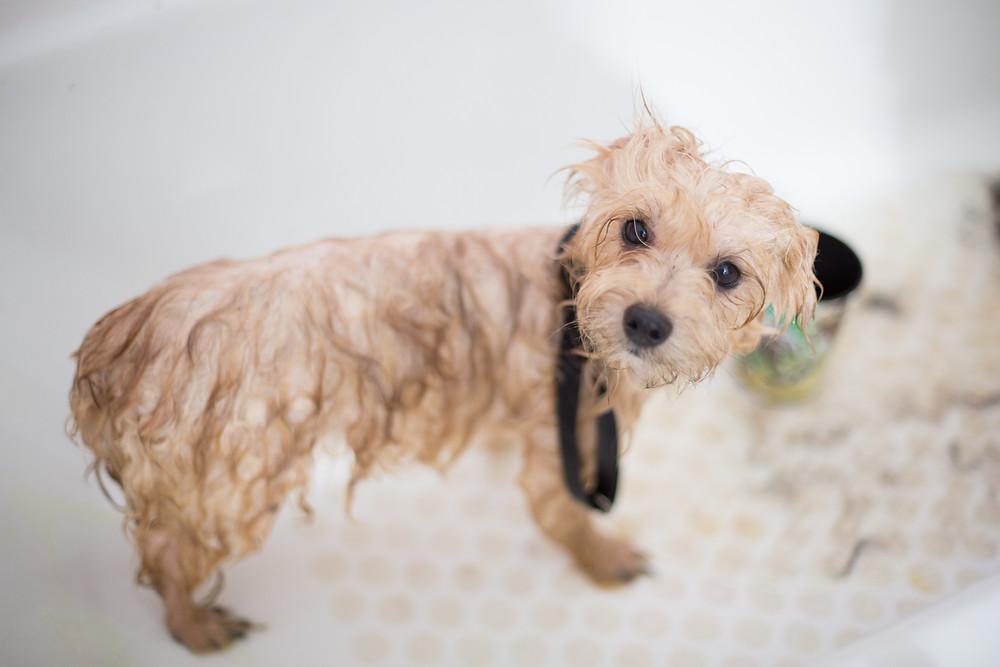dog afraid of baths, dog afraid of handling, fearful dog, Bedford Hills, NY