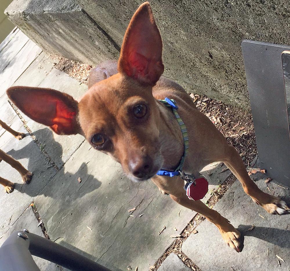 dog barks at people, dog barks at dogs, stop dog chasing things, Somers, NY