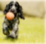 blog pup runs w ball.jpg
