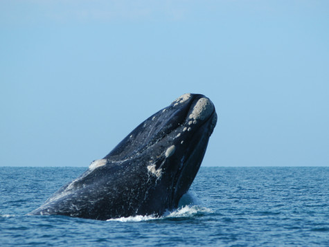 Southern right whales head to Great Australian Bight