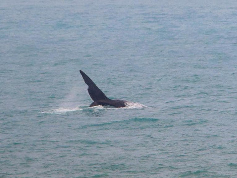 First whale of 2018 season spotted at Encounter Bay