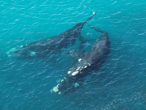 Southern right whale numbers are lower than expected based on historical trends