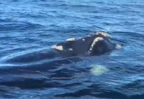 Amazing footage of a southern right whale near Wallaroo