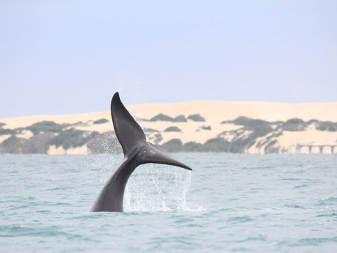 'The Nullarbor Giants' and the significance of the Great Australian Bight to southern right whales a