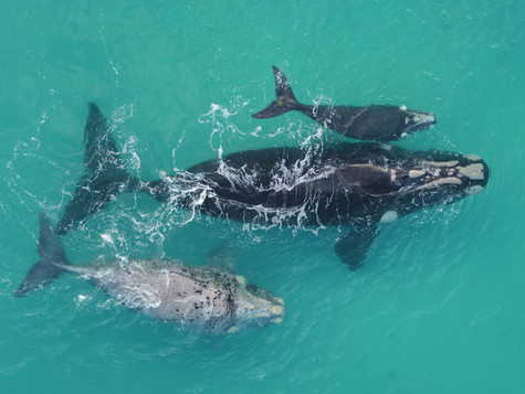 Stars align for the return of southern right whales to South Australia