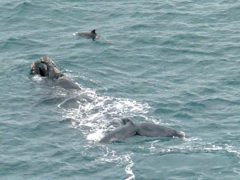 Southern right whale enthusiast Elizabeth Steele-Collins is excited to report a number of repeat vis