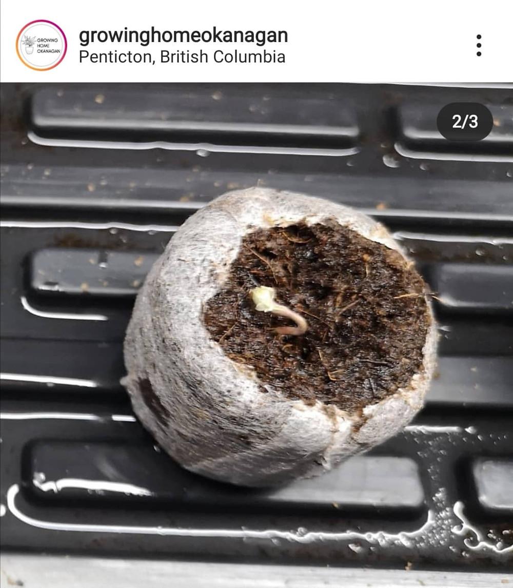 Cannabis seed germinates