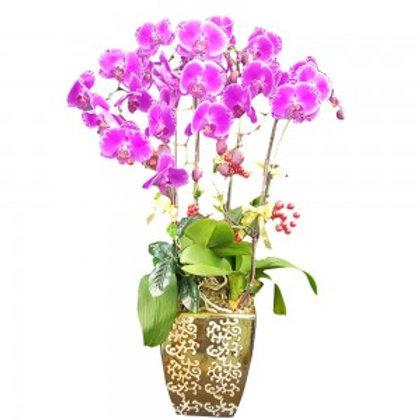 大紫大紅開張蘭花 OP013