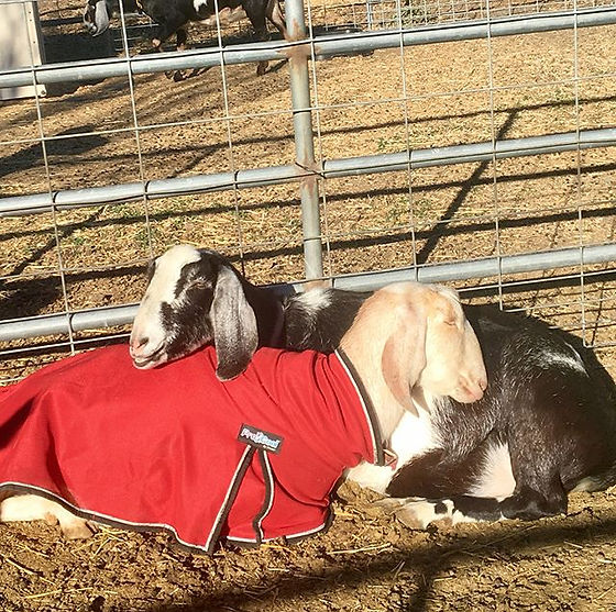 Got to see Dulce and Genevieve have a special mother and child moment today, mother goats have a lif