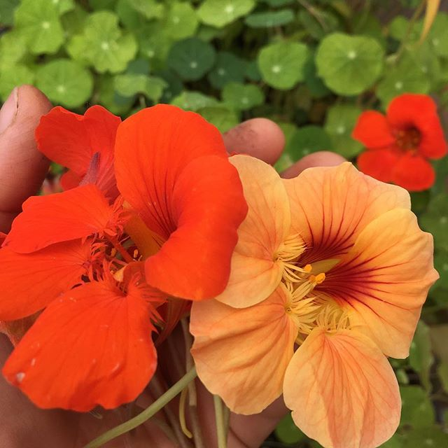 Beautiful nasturtium blossoms!