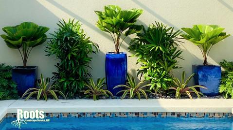 Palm Beach Gardens, FL Pool Landscape Design Licuala grandis Container Garden