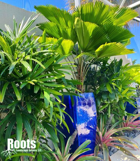 Palm Beach Gardens, FL Landscape Design Licuala grandis Container Garden