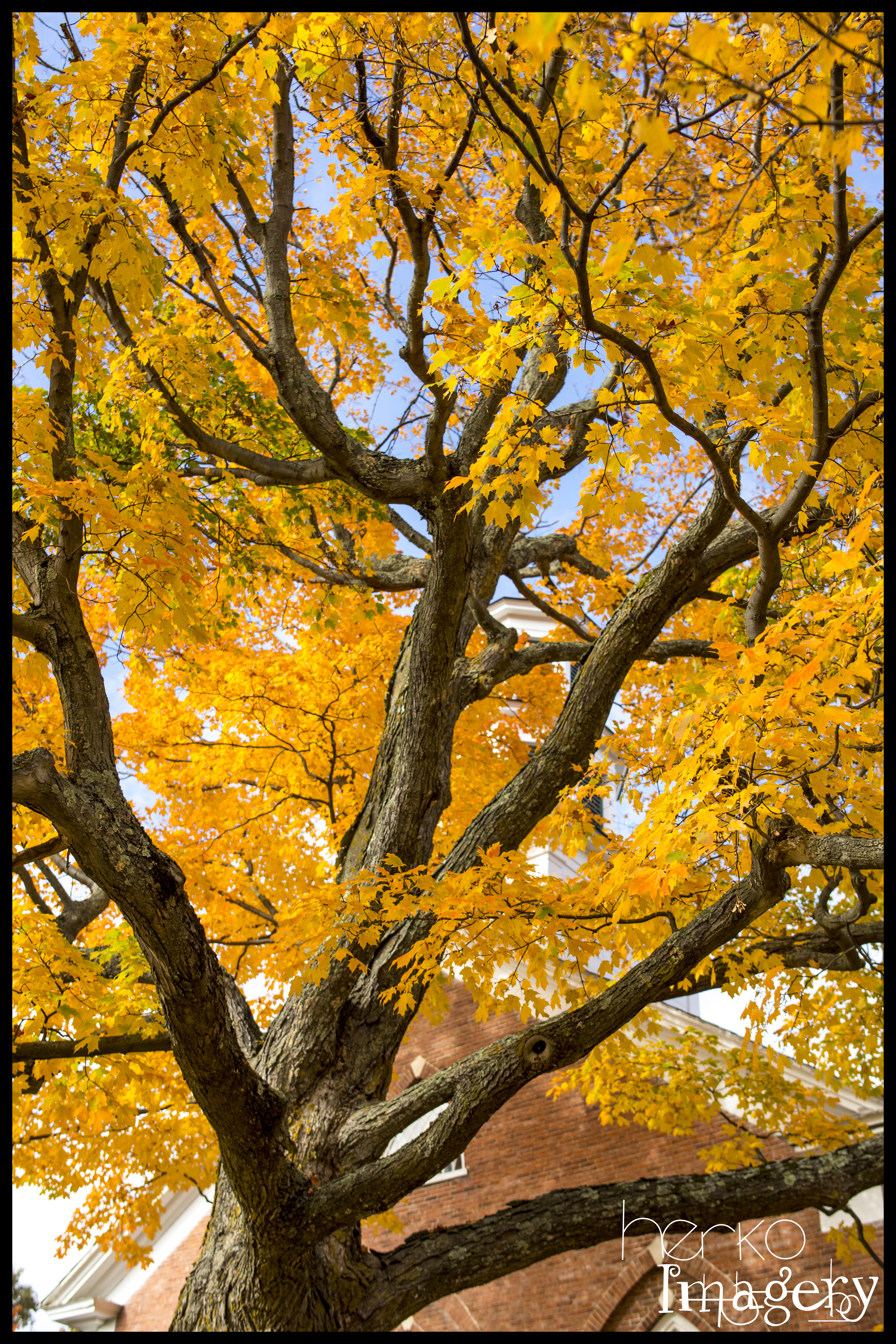 Maple Tree up trunk downsize