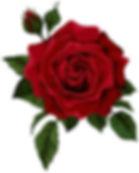 red rose.jpeg