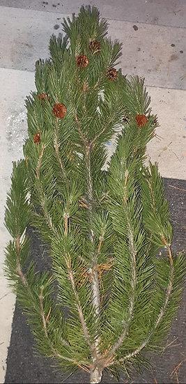 Large Pine Branch Decor $6