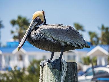 Pelican modified.jpg