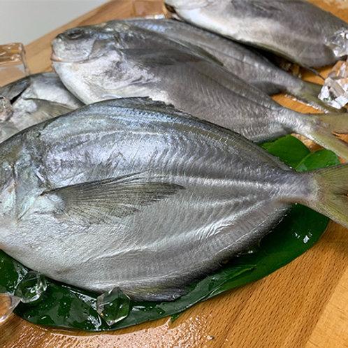 《嘉豐》鮮凍肉鯧魚