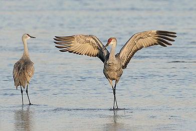 04-sandhill-cranes-flight.jpg