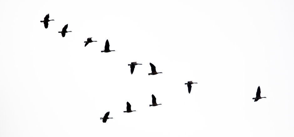Flock of Canada Geese flying in a V form
