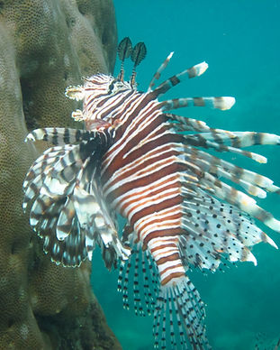 lionfish-underwater-in-the-caribbean-sea-VTCLEMW.jpg