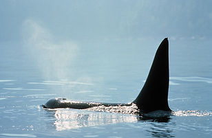 Orca167_Alex-Morton.jpg
