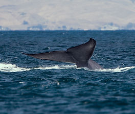 2048px-Blue_whale_tail_edited.jpg