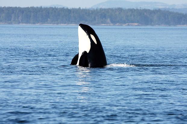 Orca188_Rob-Lott.jpg