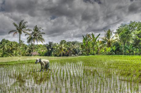 Rice padddy Worker.jpg