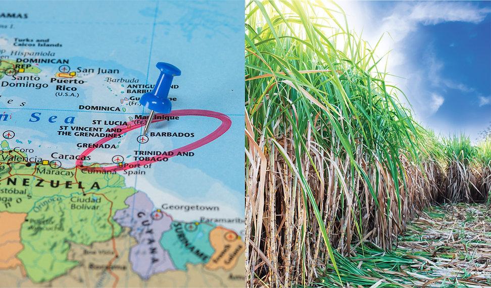 Barbados sugar cane