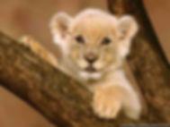 photo lion.jpg