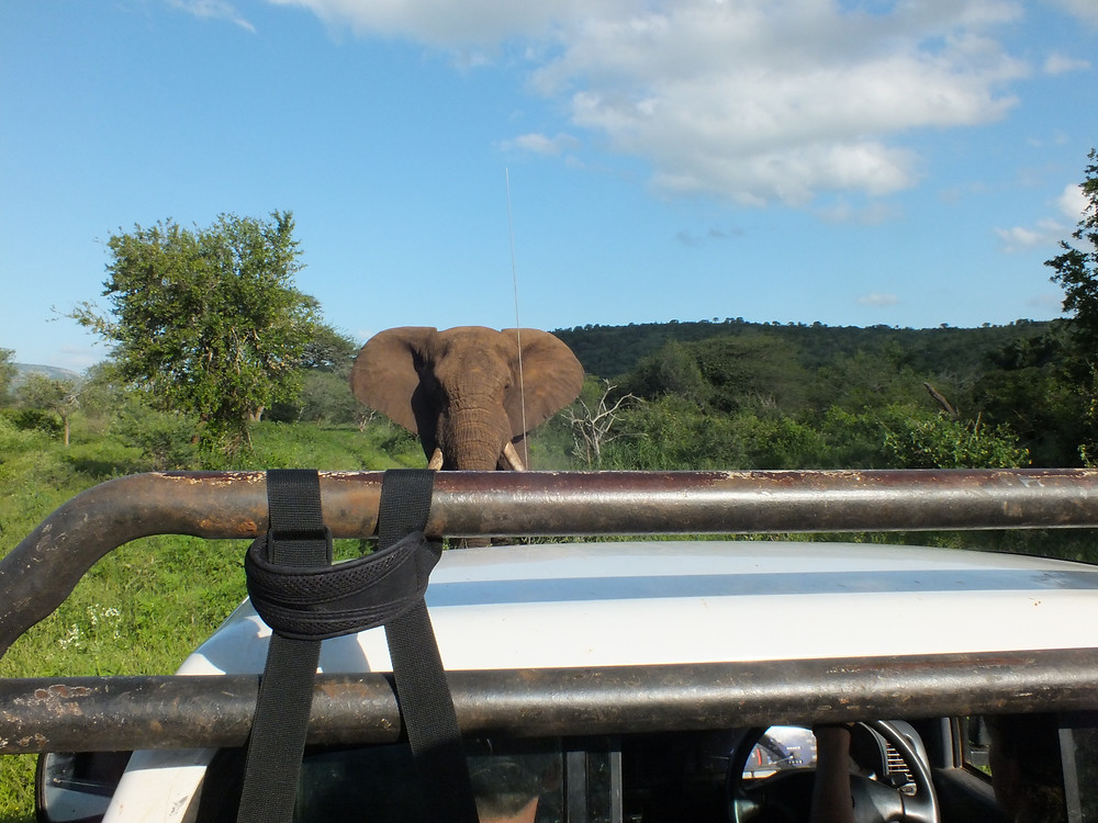 A big tusker bull elephant just metres from our vehicle