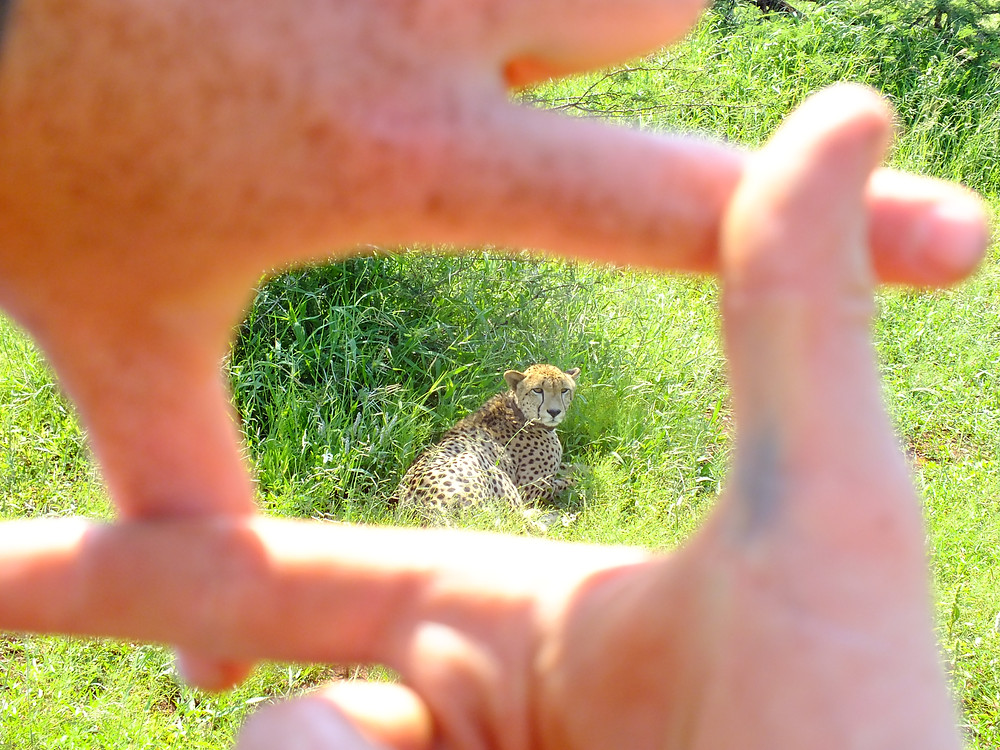 Framing a cheetah with my fingers for a picture