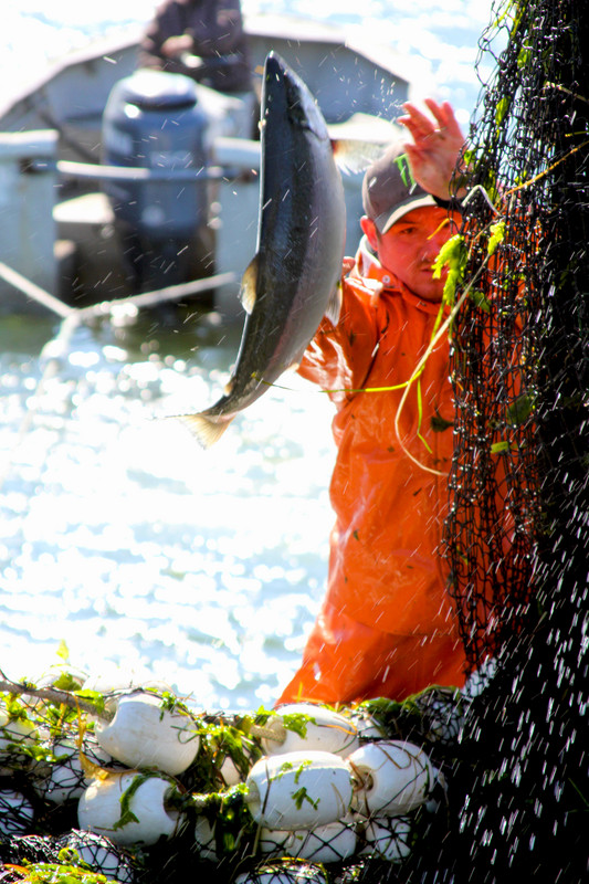 Picking Salmon