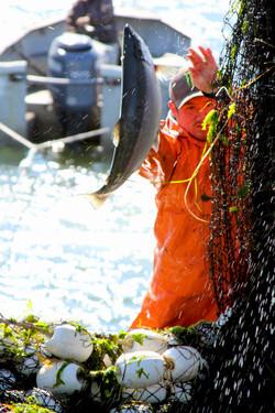 Picking Salmon