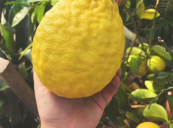 Holy cannoli, that's a huge lemon 🍋 #po