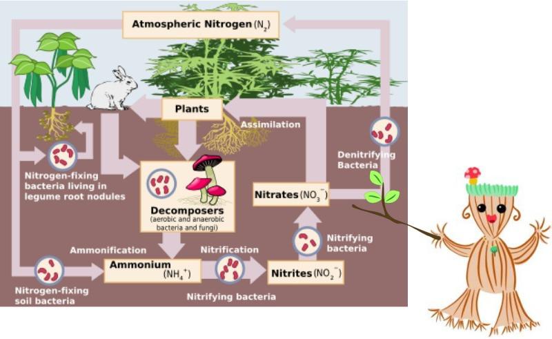 Ms. Myco Rhiza sharing a diagram on the nitrogen cycle.