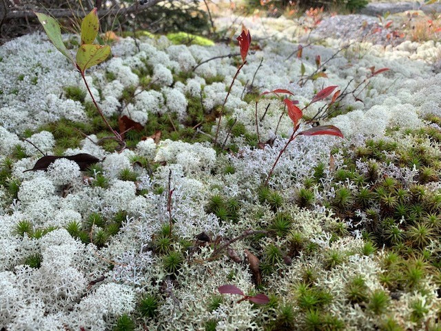 Lichen with a view: A symbiotic relationship of microbes!