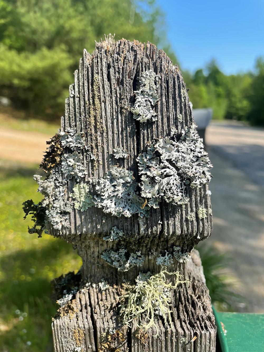 Lichen on a mailbox post.