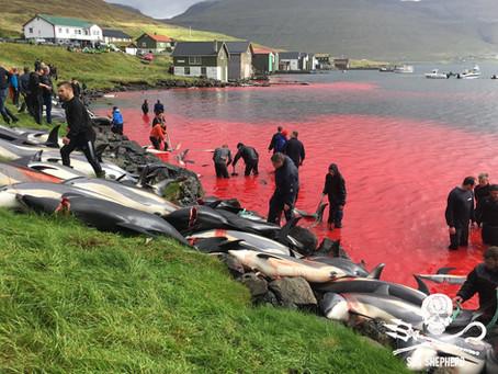 Bain sanglant aux îles Féroé