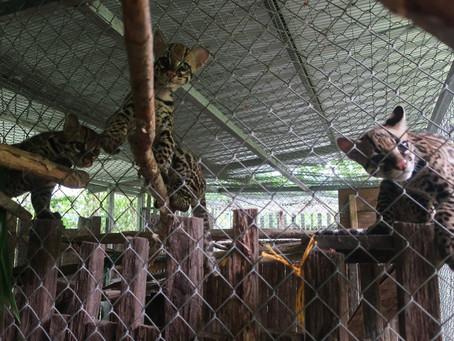 Bonne nouvelle pour les ocelots de Yakusinchi