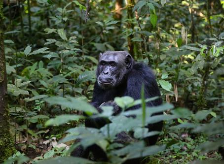 Une population de chimpanzés revue à la hausse